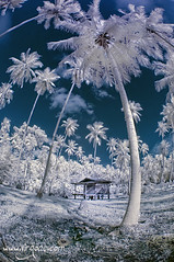 Coconut farm (- Virgonc -) Tags: wood blue white house tree forest ir thailand island nikon coconut farm d70s palm fisheye ko palmtree samui infrared koh infra 105mm virgonc wwwvirgonccom