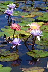 Water Lilies in the Bethesda Fountain (Nicole Marti) Tags: park nyc newyorkcity pink summer flower reflection green nature water fountain waterlily lily centralpark waterlilies aquatic lilypad bethesdafountain