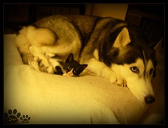 Couple (aunqtunolosepas) Tags: dog pet cats baby pets cute love dogs animal animals cat puppy puppies kitten feline husky couple bea sweet pareja pair kitty kittens huskies gatos mami mama cutie luna perro mum tuxedo together gato cachorro kitties gata felinos felino bebe perros felines animales lovely mummy cuteness gatitos mascota mascotas par gatita juntas gatito daugther perrita perra hija mushu cachorritos aunqtunolosepas