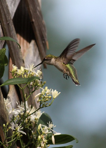 Summerville, SC: Hummingbird