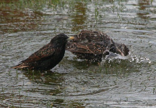 Starlings Bathing