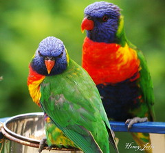 """What are you looking at?!"" (honeypestypie) Tags: birds best rainbowlorikeets bej specanimal abigfave anawesomeshot impressedbeauty avianexcellence goldstaraward natureselegantshots panoramafotogrfico dragondaggerphoto thebestofmimamorsgroups"
