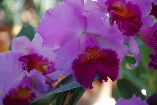 frilled orchids