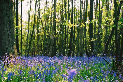 Bluebells by drewwith, on Flickr