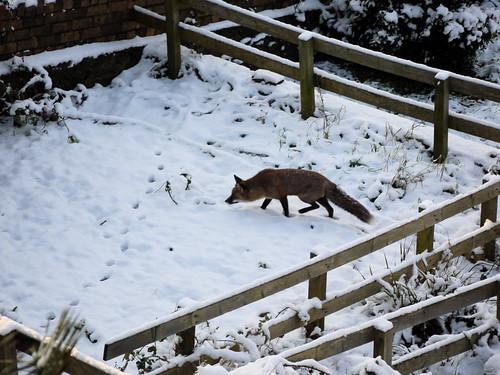Räv i snö