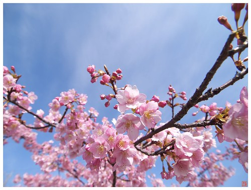 Cherry blossoms 090305 #04