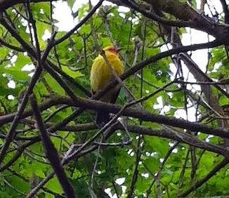 Yellow bird in the garden