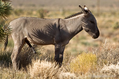 Wild-Burro-with-erect-penis-in-Red-Rock-Canyon-national-conservation-area-Nevada-005.jpg (RogueSocks) Tags: redrockcanyon usa animal desert lasvegas nevada donkey burro jackass erect nevadadesert bluediamond bonniesprings wilddonkey wildburro springmountainranchstatepark nevadastatepark donkeypenis nevadausa redrockcanyonnevada redrockcanyonlasvegas redrockburro redrockcanyonvegas nevadawildburro burropenis erectburropenis erectdonkeypenis wildjackass
