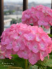 #56_20110605 (A_certain_day) Tags: flower 花 ricoh 紫陽花 あじさい gx200 ピンク