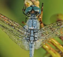 Dragonfly and morning dew drops (Tanya Puntti (SLR Photography Guide)) Tags: blue nature insect droplets dragonfly flash dew waterdroplets morningdew canon100mmmacro fired dragonflymacro canonmacro mywinners canon400d dragonflycloseup anawesomeshot twinlitemt24exflash