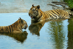 Sumatran tigers (tropicaLiving - Jessy Eykendorp) Tags: park wild bali nature animal fauna indonesia geotagged photography zoo asia wildlife tiger panoramic beast wildanimal gianyar sumatrantigers animalkingdomelite tropicaliving balisafarypark tropicalivingtropicallivingtropicalliving panasoniclumixdmcfz8panasoniclumixdmcfz8 jessyce geo:lon=115157318 geo:lat=8817225