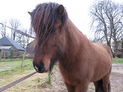 Vídalín, our young stallion (Steven M Schultz) Tags: horses horse netherlands animal pony pferde drenthe dun paarden icelandic eelde foal hengst fohlen icelandichorse ijslander icelandichorses islandpferd vidalin pacingpony
