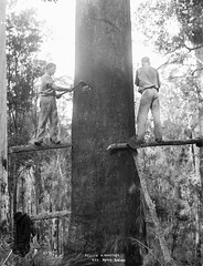 Felling a gum tree (Powerhouse Museum Collection) Tags: tree saw forestry timber logging lumberjack treefelling powerhousemuseum loggers xmlns:dc=httppurlorgdcelements11 dc:identifier=httpwwwpowerhousemuseumcomcollectiondatabaseirn29300 dc:creator=httpnlagovaunlaparty469651