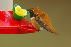 Male Rufous Hummingbird (bison_bill_c) Tags: nature birds hummingbird aficionados myyard naturesfinest specanimal pentaxk10d flickrenvy avianexcellence brisbanebirds flickrgolfclub