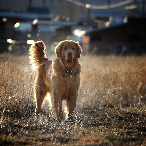 backlit Golden Retriever