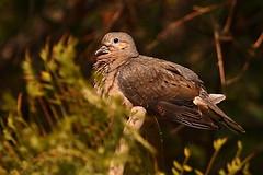 Tortola (Flacorod) Tags: chile winter rain lluvia pigeon invierno tortola 70200 aplusphoto grouptripod