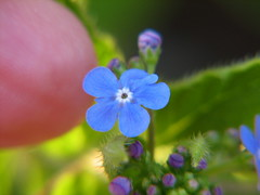 Tiny Blue Forget-Me-Not (audreyjm529) Tags: blue flower macro canon spring awesome small blossoms tiny peopleschoice naturesfinest flickrs impressedbeauty flowerpicturesnolimits themacrogroup macromarvels
