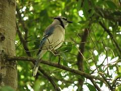 Blue Jay (rickm FL) Tags: nature birds florida bluejay naturesfinest thefavorite naturecoast anawesomeshot flickrenvy superbmasterpiece flickrslegend richardsphotography
