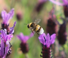 White-tailed Bumble Bee flying over Lavender flowers (Kateimi) Tags: flower fleur flor lavender bumblebee lavande lavanda spanishlavender lavandula lavandulastoechas cantueso kateimi bombuslocorum