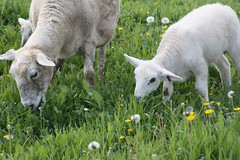 Katahdin ewe and lamb grazing spring pasture