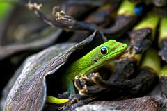 A Little Peculiar (Bill Adams) Tags: hawaii song reptile lizard bananas gecko bigisland animalplanet whatsup bananatree kailuakona naturesfinest 4nonblondes canonef70200mmf28lisusm specanimal madagascardaygecko mywinners kaping canon500d77mmcloseuplens