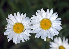 Oxeye Daisies (ryball78) Tags: flowers plants nature daisies wildflowers oxeye