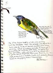 Mourning Warbler (Artist Naturalist-Mike Sherman) Tags: drawing michigan naturalhistory roadkill specimen audubon mourningwarbler oporornisphiladelphia midmichigan watercolorstudy artistnaturalist