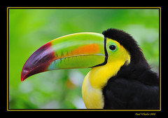 Toucan (Paul_Wheeler) Tags: bird nature mexico bill toucan nikon wildlife beak avian d300 themoulinrouge fpg bej specanimal mywinners platinumphoto anawesomeshot colorphotoaward impressedbeauty superbmasterpiece avianexcellence diamondclassphotographer flickrdiamond goldstaraward multimegashot goldenheartaward ubej btg10 btg5