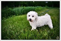 Mary had a Little Lamb (i ea sars) Tags: sunset summer dog chien pet naturaleza white cute co nature