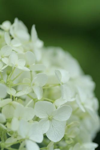 hydrangea: white bouquet