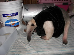 My vested anteater