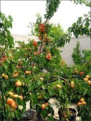 Blenheim Apricots Galore!