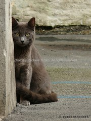 Feline meeting (roseinthedark) Tags: life street portrait pet animal cat lumix grey eyes feline chat soft sweet meeting gatto micio lovable certosino fz50 supershot bej abigfave kissablekats slowflow bestofcats platinumphoto kittyschoice diamondclassphotographer flickrdiamond citrit pet100 ysplix theunforgettablepictures platinumheartaward betterthangood theperfectphotographer goldstaraward tup2 rubyphotographer theenchantedcarousel goldenheartaward boc0708 coppercloudsilvernsun bestofspecialpetportraits