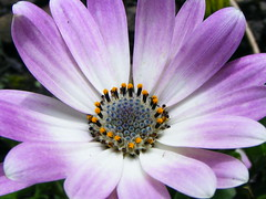 Before the Rain. (stormlover2007) Tags: flower macro nature beauty pollen osteospermum
