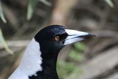 Australian Magpie Portrait (mrdehoot) Tags: bird australia victoria magpie australianbirds australianmagpie gymnorhinatibicen whitebackedmagpie gymnorhinatibicenhypoleuca braesidepark