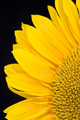 A Slice of Sunshine (dougchinnery.com) Tags: italy copyright sun plant black france flower macro face field yellow happy gold golden petals healthy warm heart bright background signature deep beam health slice sunflower oil fields quarter segment rays provence cheerful pure worksop mediteranean vitality tuscanny thefatcat44 dougchinnery