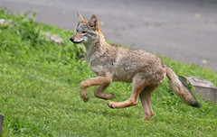 COYOTE PUP (jayhawk6) Tags: grass running unshod