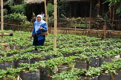 Me at strawberry garden at Cihanjuang,Bandung, Indonesia.