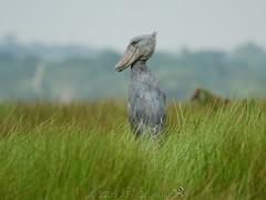 Shoebill (Makgobokgobo) Tags: africa bird uganda stork lakevictoria shoebill balaenicepsrex balaeniceps whaleheadedstork mabamba mabambaswamp bfgreatesthits mabambawetland