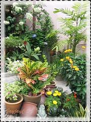 A section of our frontyard tropical garden