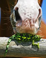 Tastes Like Chicken (Bill Adams) Tags: horse hawaii 8x10 getty waimea bigisland kamuela jacksonschameleon canonef70200mmf28lisusm chamaeleojacksonii chickenweek horseojacksoneaterii