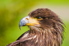 FIMG_2105 (Alfred Koppel) Tags: bird perfect photographer searchthebest eagle adler soe vogel the naturesfinest blueribbonwinner outstandingshots specanimal golddragon worldbest ultimateshot avianexcellence bratanesque theunforgettablepictures goldstaraward szembeszk