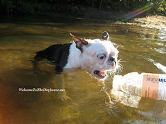 Frog face! (WelcomeToTheDoghouse) Tags: park dog lake cute beach water boston swimming swim puppy flying august terrier una 2008 prospect soar vitamin