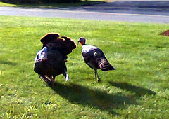 Turkeys90208