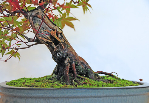 japanese maple bonsai tree. Japanese Maple Bonsai Tree