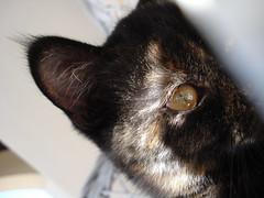 *.* (Yonara) Tags: cat chat kitty gato gatito safira kissablekat bestofcats