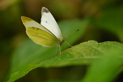 Papillon! (greg..!) Tags: light white france green beautiful yellow jaune wonderful butterfly french nice nikon flight vert papillon excellent blanc beau magnifique leger vincennes cubism wonderfulworld d80 abigfave anawesomeshot damniwishidtakenthat