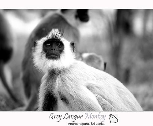 relationship between langur monkey and chital deer