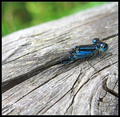 Dragonfly - Groe Pechlibelle (Ischnura elegans) (Batikart ... handicapped ... sorry for no comments) Tags: wood travel blue summer macro nature animal closeup fauna germany insect geotagged bayern deutschland bavaria interestingness europe dragonflies dragonfly sommer wildlife natur july explore juli blau makro holz libelle insekt tier schliersee a610 f50 bluetaileddamselfly canonpowershota610 ischnuraelegans 50faves 201205 i500 kleinlibelle specanimal fluginsekt schlanklibelle pechlibelle viewonblack aplusphoto batikart rubyphotographer grosepechlibelle 100commentgroup