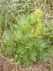 Ae_simsii_x_ (bramwellii) Tags: grancanaria crassulaceae aeonium floracanaria aeoniumsimsiix